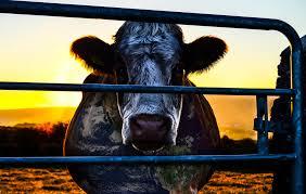 cowspiracy image